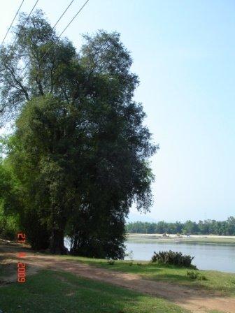 Cây me cổ thụ nằm sát bờ sông Côn có nguy cơ ngã đỗ...vì lũ!